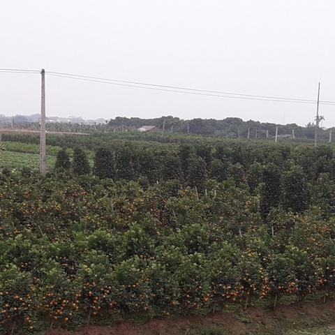 Hồng Thái (Phú Xuyên, Hà Nội): Phát huy giá trị vùng đất bãi